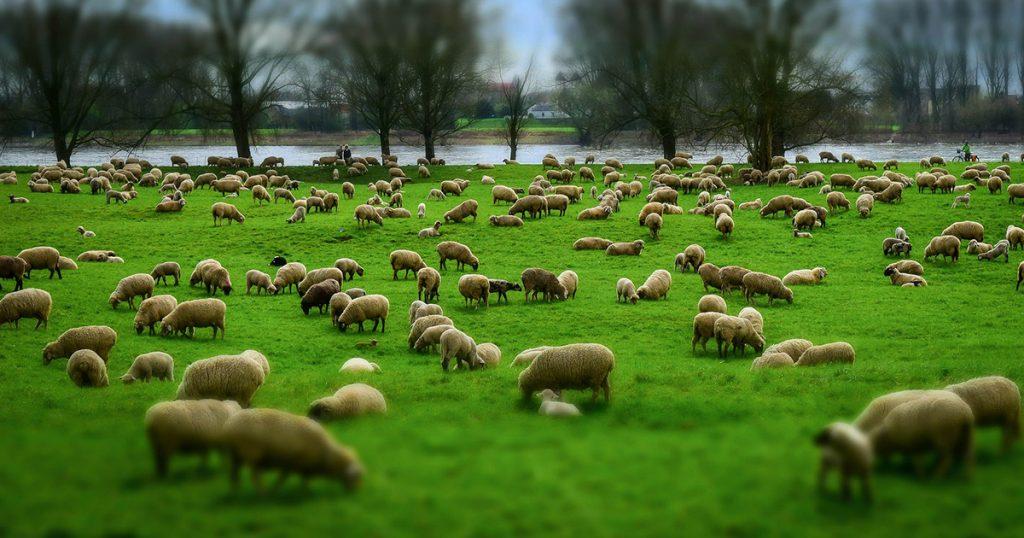 mouton et laine