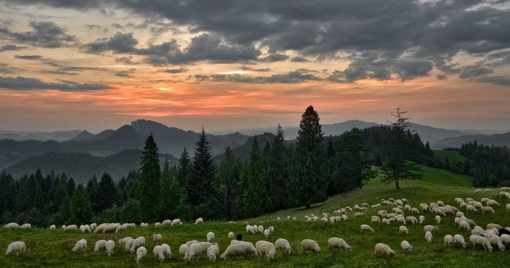moutons en montagne