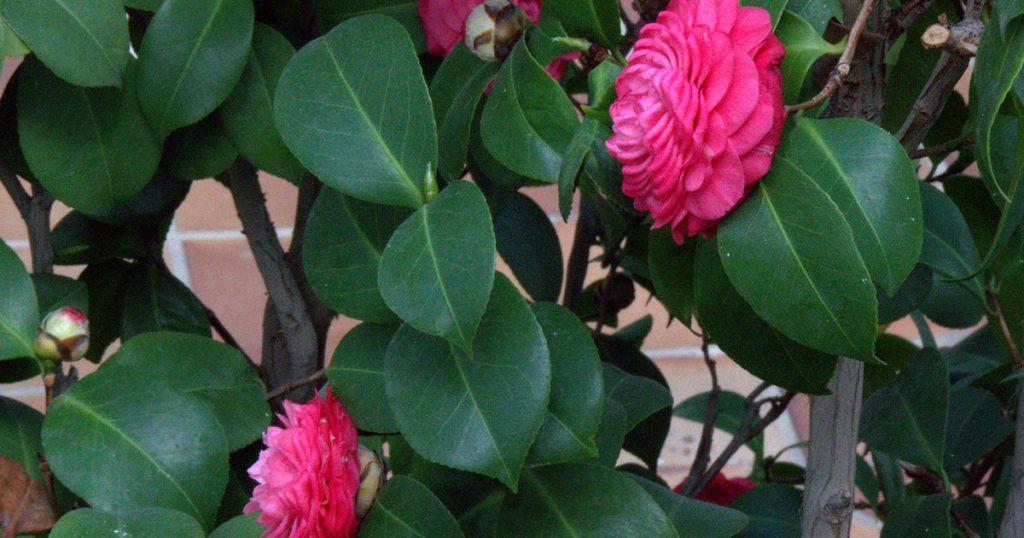 fleur de camélia pour les 51 ans de mariage